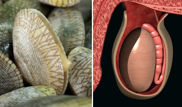05-Clams-TesticlesFoods-That-Look-Like-Body-Parts-1